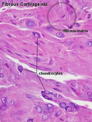 Blue Histology Skeletal Tissues Cartilage